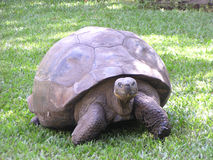 Giant Land Tortise. This tortise is the oldest living (recorded) tortise in the world. She was born in 1831 and now lives in the Australia Zoo royalty free stock photos