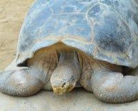 Giant Land Tortoise Royalty Free Stock Image