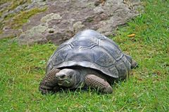 Giant land turtle. Grazing on a meadow quietly Stock Photo