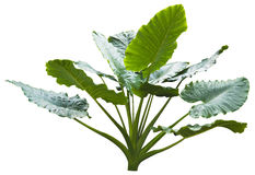 Giant leaf. Giant alocasia tree or caladium tree isolated on white stock photo