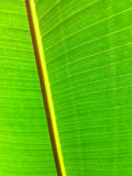 Giant Leaf Royalty Free Stock Images