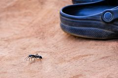 Giant leaf cutter ant in size comparison with a shoe. Brown sandy background royalty free stock image