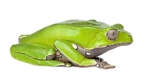 Giant leaf frog - Phyllomedusa bicolor. In front of a white background Stock Photos