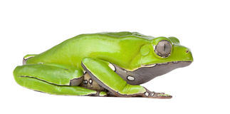 Giant leaf frog - Phyllomedusa bicolor. In front of a white background royalty free stock images