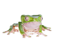 Giant leaf frog on white background Stock Photo