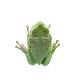 Giant leaf frog on white background Royalty Free Stock Photos