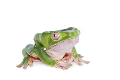 Giant leaf frog on white background Stock Photography