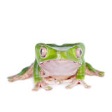 Giant leaf frog on white background Royalty Free Stock Images