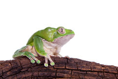 Giant leaf frog on white background Stock Photos