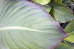 Giant leaf of garden Hosta with violet border. Growing outdoors closeup stock images
