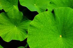 Giant Leaf, Lotus, Lotus Leaf Royalty Free Stock Image