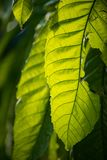 Giant Leaf in South Florida. Tropical Garden stock image