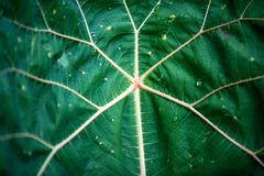 Giant Leaf in South Florida. Tropical Garden stock photos