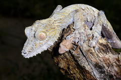 Giant leaf-tail gecko Stock Image