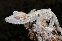 Giant leaf-tail gecko, marozevo. Madagascar stock photo