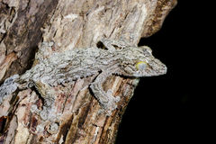 Giant leaf-tail gecko, marozevo. Madagascar royalty free stock photography