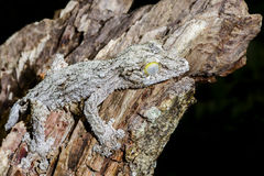 Giant leaf-tail gecko, marozevo Stock Photos