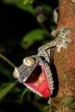 Giant Leaf-tail Gecko, Uroplatus fimbriatus, Madagascar Stock Images