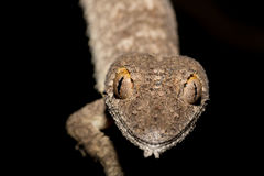 Giant leaf-tailed gecko, Uroplatus fimbriatus Royalty Free Stock Image