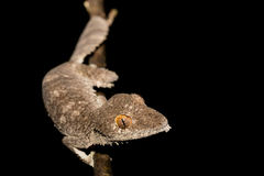 Giant leaf-tailed gecko, Uroplatus fimbriatus. Ankarana Special Reserve in northern Madagascar. Endemic animal, nocturnal photo, Madagascar wildlife royalty free stock images