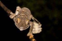 Giant leaf-tailed gecko, Uroplatus fimbriatus, Madagascar Stock Photography