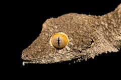 Giant leaf-tailed gecko, Uroplatus fimbriatus, Madagascar Stock Image