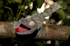 Giant leaf-tailed gecko, Uroplatus fimbriatus Royalty Free Stock Images