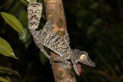 Giant leaf-tailed gecko, Uroplatus fimbriatus Stock Photos
