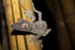 Giant leaf-tailed gecko, Uroplatus fimbriatus Stock Images