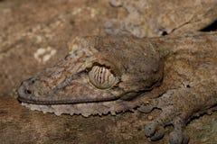 Giant leaf-tailed gecko, Uroplatus fimbriatus Royalty Free Stock Photography