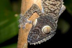 Giant leaf-tailed gecko, Uroplatus fimbriatus Royalty Free Stock Photos