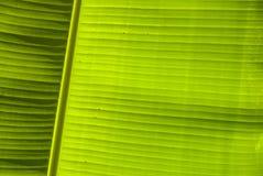 Giant leaf veins Stock Photos