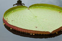 Giant leaf of water lily Stock Photos