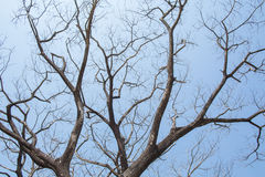 Giant leafless tree. Against clear blue sky shoot from low angle stock photo
