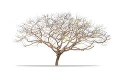 Giant Leafless tree isolated Royalty Free Stock Photo