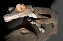 Giant leaftail gecko climbing a branch. A giant leaftail gecko from Madagascar (uroplatus fimbriatus) climbing a branch Stock Photography