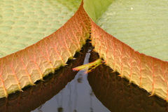 Giant Leaves 1. Two leaves of a gigantic waterplant are growing side by side. The picture detail is astonishing cause of the Royalty Free Stock Photos