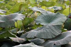 Giant leaves Stock Image