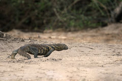 Giant Legavaan lizard Royalty Free Stock Photography