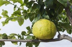 Giant lemon Royalty Free Stock Images