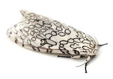 Giant Leopard Moth Stock Images