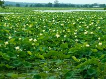 Giant Lilly Pond Stock Photography