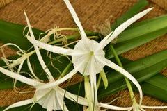Giant lily Hymenocallis littoralis Jacq. Salisb. Flower Stock Photos