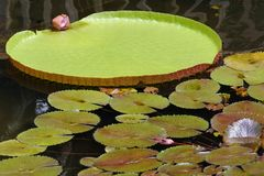 Giant Lily Pad and Smaller Pads Stock Photo
