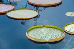 Giant Lily Pads. A picture of giant lily pads floating on a pond royalty free stock image