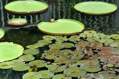 Giant Lily Pads and Smaller Pads Stock Image