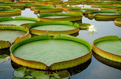 Giant Lily Pads Stock Photo