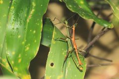 Giant lime green stick bug. On the leaf stock image