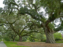 Giant Live Oaks. Large live oak trees on a former plantation now called Brookgreen Gardens Royalty Free Stock Photos