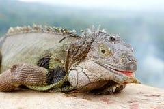Free Giant Lizard Stock Photos - 13461203